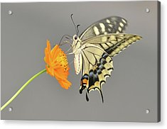Swallowtail Butterfly On Cosmos Flower Acrylic Print by Etiopix