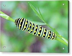 Swallowtail Caterpillar On Parsley Acrylic Print
