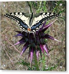 Swallowtail Acrylic Print by Eric Kempson