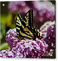 Swallowtail On Lilac 2 Acrylic Print by Mitch Shindelbower