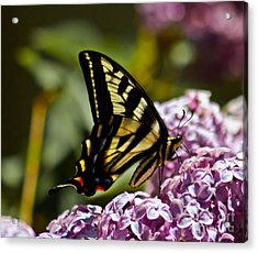 Swallowtail On Lilac Acrylic Print by Mitch Shindelbower
