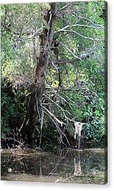 Swamp Tree Acrylic Print