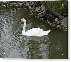 Swan Along The Shoreline Acrylic Print by Corinne Elizabeth Cowherd