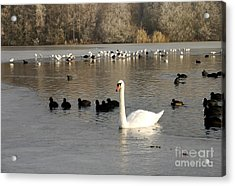 Swan And Ice Acrylic Print by John Chatterley