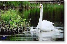 Swan Family Late Summer Acrylic Print by Colette V Hera  Guggenheim