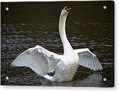 Acrylic Print featuring the photograph Swan Hugs by Brian Stevens