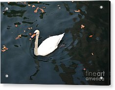 Acrylic Print featuring the photograph Swan In Autumn by Kathleen Pio