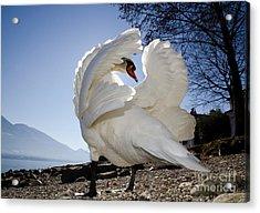 Swan In Backlight Acrylic Print
