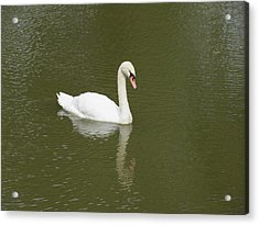 Swan Looking At Reflection Acrylic Print by Corinne Elizabeth Cowherd