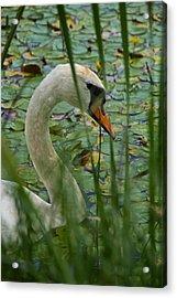 Swan Naturally Acrylic Print by Odd Jeppesen