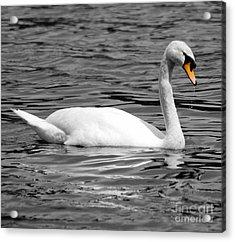 Swan On Loch Erne. Acrylic Print by Stephen McLean