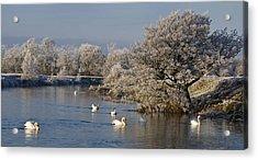 Swan Patrol Acrylic Print