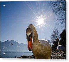 Swan Saying Hello Acrylic Print