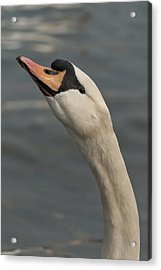 Swan Acrylic Print by Design Windmill