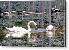 Swans At Lunch Acrylic Print by Bob Niederriter