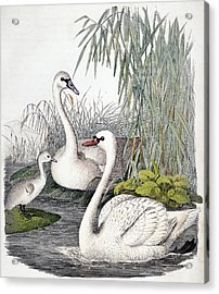 Swans, C1850 Acrylic Print by Granger