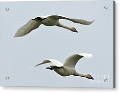 Swans Flying South Acrylic Print by Diane Folaron