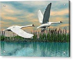 Swans In Flight Acrylic Print by Walter Colvin