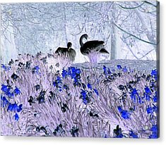 Swans In The Blue Acrylic Print by Fred Whalley