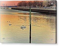 Swans On A Lake Acrylic Print by Alex AG
