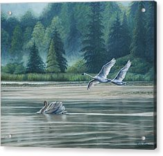 Swans On Carter Lake Acrylic Print by Ruth Gee