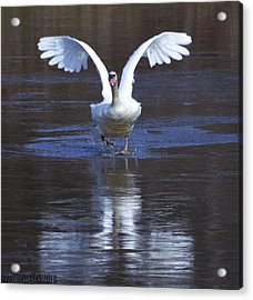 Acrylic Print featuring the photograph Swans On Ice 2 by Brian Stevens