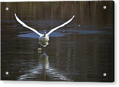 Acrylic Print featuring the photograph Swans On Ice by Brian Stevens