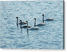 Swans Swimming Acrylic Print by Aimee L Maher Photography and Art Visit ALMGallerydotcom