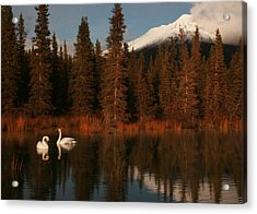 Swans Wrangell St. Elias National Park And Preserve Acrylic Print