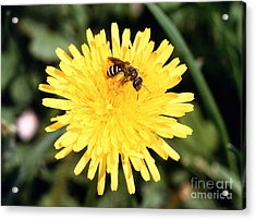 Sweat Bee Acrylic Print by Science Source