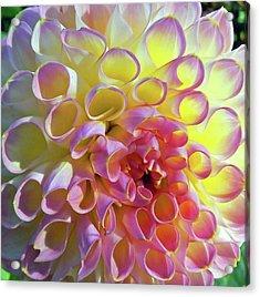 Sweet As Honey Acrylic Print