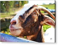 Acrylic Print featuring the photograph Sweet Goat by Mary Zeman