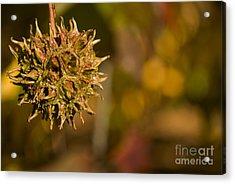 Sweetgum Seed Pod Acrylic Print by Heather Applegate