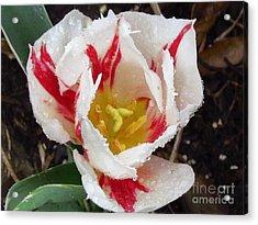 Sweetheart Tulip Acrylic Print