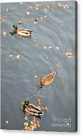 Acrylic Print featuring the photograph Swimming Ducks And Autumn Leaves by Kathleen Pio