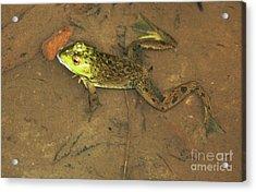 Swimming Frog Acrylic Print by Nick Gustafson