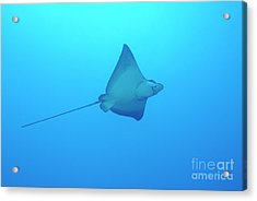 Swimming Spotted Eagle Rays Acrylic Print by Sami Sarkis