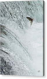 Swimming Upstream Acrylic Print by Gloria & Richard Maschmeyer