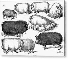 Swine, 1876 Acrylic Print by Granger