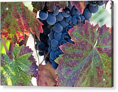 Syrah Grapes With Autumn Leaves Acrylic Print by Dina Calvarese