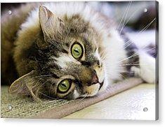 Tabby Cat Looking At Camera Acrylic Print