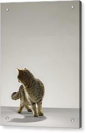 Tabby Cat Looking Behind Acrylic Print by Michael Blann
