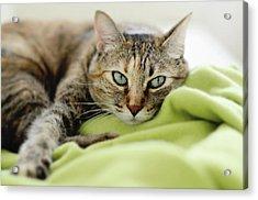 Tabby Cat On Green Blanket Acrylic Print by Dhmig Photography