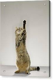 Tabby Cat Standing On Hind Legs With Stretching Out Paw Acrylic Print by Michael Blann