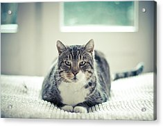 Tabby Cat Staring Straight In Camera Acrylic Print by Cindy Prins