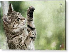 Tabby Kitten Acrylic Print by Jill Ferry