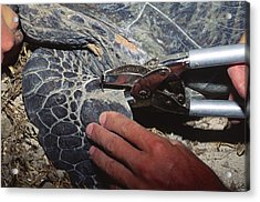 Tagging A Turtle Acrylic Print by Alexis Rosenfeld