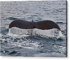 Tail Of The Humpback Acrylic Print by Timothy OLeary