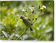 Acrylic Print featuring the photograph Take A Look - Lesser Goldfinch by James Ahn