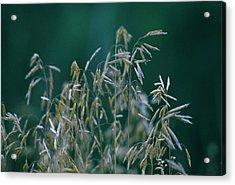 Tall Grass Seeds Acrylic Print by Jaye Crist